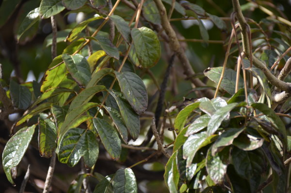 Thilospflanzenseite unbekannte pflanzen aus madeira 2014